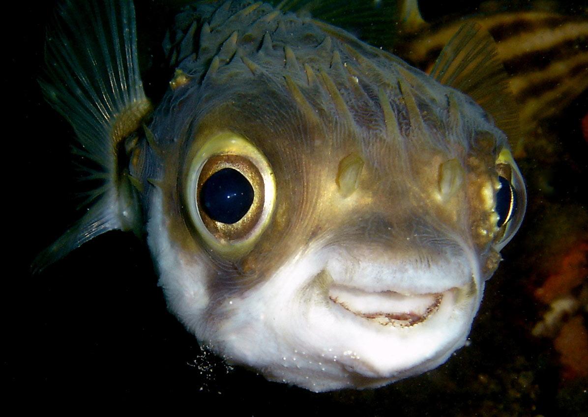 描 述: 最长约90厘米,和河魨是近亲,腹部有一大大的气囊,大多生活在热带的近海处。全身长满硬刺,颜色多为棕色。代表物种有白腹刺鲀和棕腹刺鲀。其中,成年的白腹刺鲀体形比一般的刺豚小。刺鲀鱼生活在深海珊瑚礁之中一种像刺猬一样的鱼。